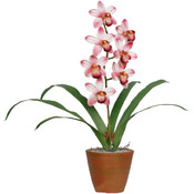 Potted Plant - Cymbidium Promises