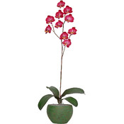 Potted Plant - Sweetheart Orchid