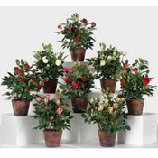 13' Potted English Rose, 8 Assorted Colors Wholesale Bulk