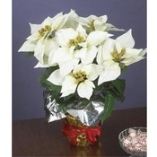 "15""H White Silk Potted Christmas Poinsettia"