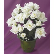 KIGI 18'H White Rose Bush With Pot Wholesale Bulk