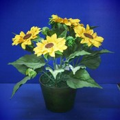 KIGI 13'H Sunflower With Pot Wholesale Bulk